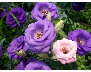 Large Rose Bush