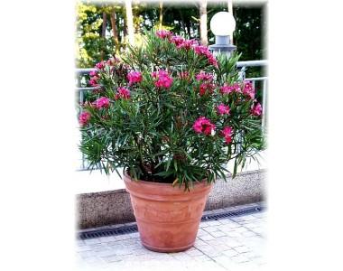 Nerium Oleander Nana Gardennova