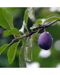 Prunus domestica - Prunera -