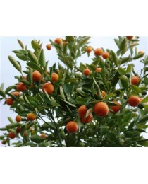 Citrofortunella microcarpa - Calamondí -
