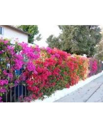 Bougainvillea spp.