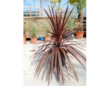 Dracaena red star